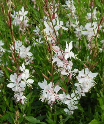Gaura lindheimeri 'Whirling Butterflies'