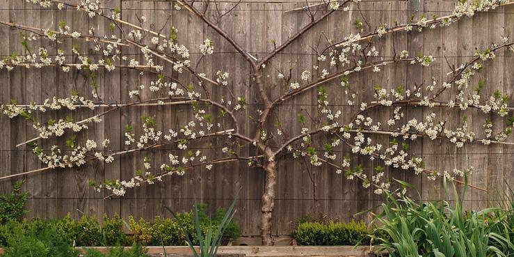 Fan shaped fruit tree.jpg