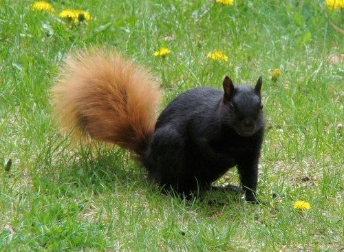 Melanistic red squirrel