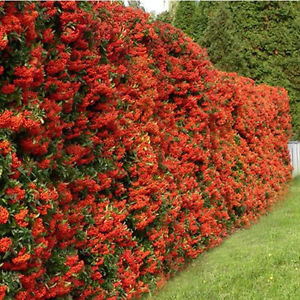 Pyracantha hedge